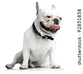 French Bulldog Showing The...