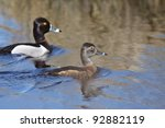 Pair Of Ring Necked Ducks In...