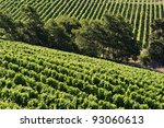 Vineyard - landscape rows of beautiful vines - stock photo