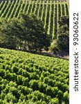Vineyard - portrait rows of beautiful vines - stock photo