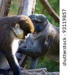 Schmidt's Spot Nosed Guenon An...
