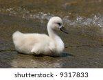 Baby Swan