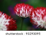 Close Up Of Aster