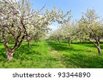 Blooming Apple Trees Over Blue...