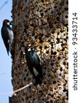 Acorn Woodpeckers On A Tree In...