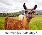 Curios South American Llamas