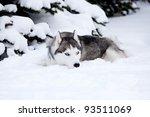 Young Husky On White Snow...