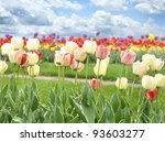 Colorful Tulips Flowers Against A Blue Sky - stock photo