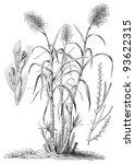 sugarcane  saccharum...   Shutterstock .eps vector #93622315