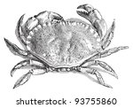 Edible Crab  Cancer Pagurus   ...