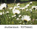 marguerite meadow growing on a pasture in the Carpathian mountains, Romania - stock photo