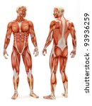 Male Musculoskeletal System...