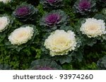 Beautiful Flowering Cabbage In...