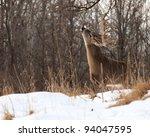 Whitetail Deer Eating Branch O...
