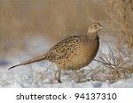 Female Ringneck Pheasant...