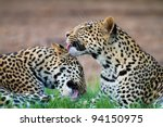 Two Young Male Leopard Cubs...