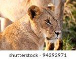 african lioness in the maasai... | Shutterstock . vector #94292971