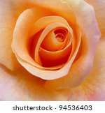 Close Up Of A Peach Colored Rose