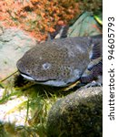 Small photo of Axolotl (Ambystoma mexicanum) - underwater photo