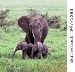Stock photo a unique female elephant with two of the young in the serengeti national park tanzania africa 94775383