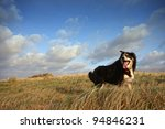 Stock photo a border collie in running through long grass 94846231
