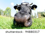 fisheye lens shot of cow on green pasturage in Poland - stock photo