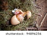 Last effort of a little yellow chick hatching - stock photo