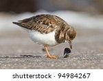 Close Up Of An Ruddy Turnstone