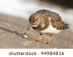 A Ruddy Turnstone Is Eating A...