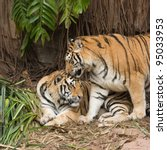 male and female tiger in a romantic pose , in love moment - stock photo