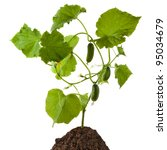 Cucumber Plant Isolated On...