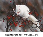 White squirrel in tree, eating red berries - stock photo