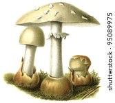 """Small photo of Poisonous and deadly fungus Amanita phalloides. Publication of the book """"Meyers Konversations-Lexikon"""", Volume 7, Leipzig, Germany, 1910"""