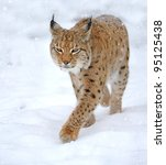 beautiful wild lynx in winter | Shutterstock . vector #95125438