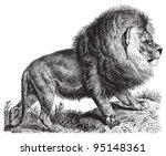 Cape Lion  Panthera Leo...