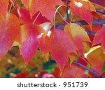 fall swamp maple in full red... | Shutterstock . vector #951739