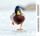 Mallard Duck On Frozen Lake