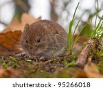 Bank vole (Clethrionomys glareolus) is looking for food on the forest floor - stock photo