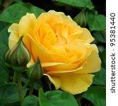 Stock photo rose golden celebration 95381440