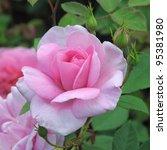 Stock photo rose cariad 95381980