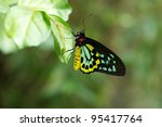 Small photo of Male Cairns Birdwing Butterfly with wings shut tight.