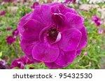 Beautiful purple dog rose in a garden. - stock photo
