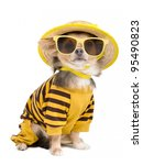Chihuahua Dressed With T Shirt...