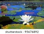 Beautiful Water Lilies Blooming ...