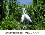 Great Egrets  Ardea Alba   Als...