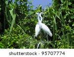 Great Egrets  Ardea Alba   Als...