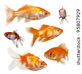 Collection Of Goldfish.  On...