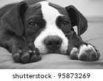 Stock photo black and white portrait of young pit bull puppy 95873269