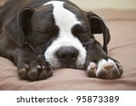 Stock photo close up of sleeping young pit bull puppy 95873389