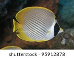 Panda butterflyfish in the coral reef - stock photo
